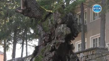 """Дъб на около 500 години, пазител на великотърновското Ново село, ще участва в конкурса """"Европейско дърво на годината"""""""