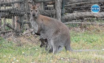 Новородени кенгурчета предизвикват любопитството на посетителите в Добричкия зоопарк
