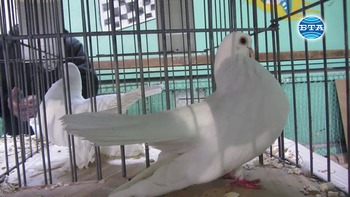 Над 630 гълъба и 120 кокошки бяха показани на изложение в Перник