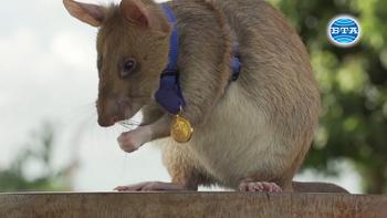 Плъх получи златен медал за откриване на мини в Камбоджа