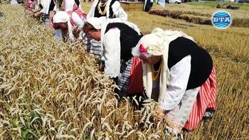 Добра реколта прогнозира земеделският министър при откриването на жътвената кампания в Сливенско