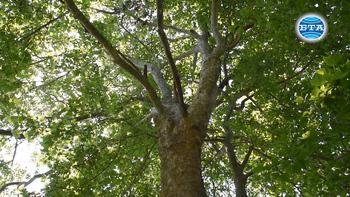Варна - за вековните дървета и грижата за тях