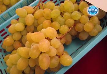 Нови сортове грозде бяха представени в Института по лозарство и винарство в Плевен