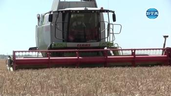 Около 700 килограма пшеница от декар очакват в Каварненско