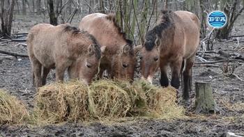 За единствената двойка коне на Пржевалски на Балканите, която обитава добричкия зоопарк, се полагат специални грижи